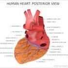 De anatomie van het hart en de bloedsomloop