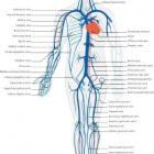 De bloedsomloop en het bloedvatenstelsel