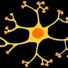 Het zenuwstelsel: steuncellen van het perifeer zenuwstelsel