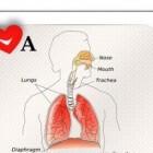 Anatomie van de bovenste luchtwegen