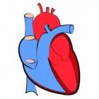 Het hart, een complex orgaan uitgelegd