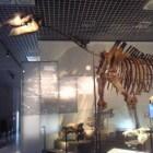 De paraceratherium, een enorm zoogdier uit de prehistorie