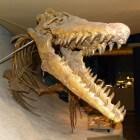 Het eetgedrag en levenswijze van de uitgestorven mosasaurus