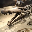 De deinosuchus, een reuzenkrokodil uit de oertijd