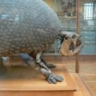 Het bijzondere uiterlijk van de prehistorische glyptodon