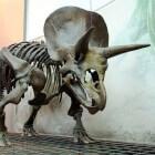 De triceratops, een dinosaurus uit het Krijt-tijdperk