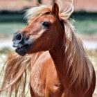 Kleurengenetica bij het paard: Zwart en vos (extention-gen)