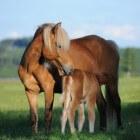 Kleurengenetica bij het paard: Flaxen-gen (modifier)