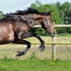 Kleurengenetica bij het paard: Sooty-gen (modifier)