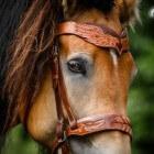 Kleurengenetica bij het paard: Pangaré-gen (modifier)
