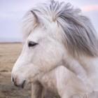 Kleurengenetica bij het paard: Schimmel-gen (modifier)