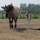 Kleurengenetica bij het paard: Dun-gen (verdunning) nd1, nd2