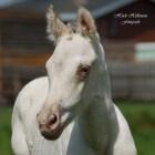 Kleurengenetica bij het paard: Champagne-gen (verdunning)