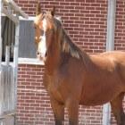 Kleurengenetica bij het paard: Zilver-gen (verdunning)