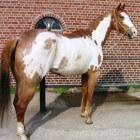 Kleurengenetica bij het paard: OLW-gen frame (witpatroon)