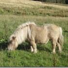 Kleurengenetica bij het paard: Mushroom-gen (verdunning)