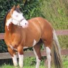Kleurengenetica bij het paard: Splashed white (witpatroon)