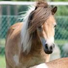 Kleurengenetica bij het paard: Tobiano-gen (witpatroon)