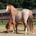 Kleurengenetica bij het paard: Roan-gen (witpatroon)