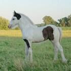 Kleurengenetica bij het paard: Sabino1-gen (witpatroon)
