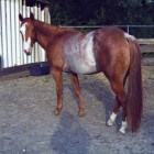 Kleurengenetica bij het paard: Rabicano-gen (witpatroon)