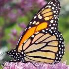Hoe kunnen vlinders navigeren via het polarisatiepatroon?