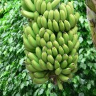 De TR4 Panama-ziekte: een bedreiging voor de bananenteelt