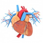 De functie van het hart