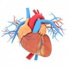 Werking en functie van het hart